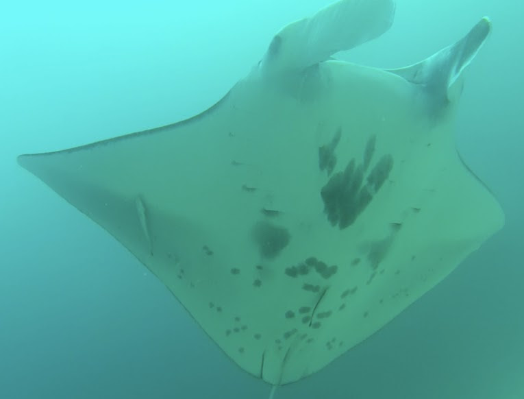 indonesia_raja-ampat_manta-ray
